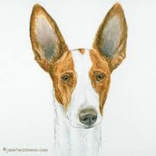"My Dear Daughter has recommended that I compare two other breeds to the Meso-American Sacred Xolotl-God breed. This is the Spanish Ibizan Hound. Today the breed does not commonly have a black coat.  ""History The Ibizan Hound has been depicted in many Ancient Egyptian art forms, and dogs painted on hieroglyphs and sculptures from over 5,000 years ago closely resemble the hound. The dog is thought to have been brought to the Western world from Egyptian and Spanish traders around 700-900 BC. It is a common dog found on the island of Ibiza and nearby islands often reduced their rabbit and small game counts because of Ibiza Hound hunts. Since the Ibiza Hound enjoys many types of hunts and terrain-exploration, it has become a very fast breed. Working primarily by sight and smell, it can also be used for nocturnal hunting and is a valuable asset to many game hunters. Many Spanish hunters have become famous for running and raising these dogs in packs so that they can make the most of their instinctual skills. This breed is excellent in the sport of lure coursing, and can also make an exceptional show dog. The Ibizan Hound has a large and multi-colored coat, and is most often associated with the Pharaoh Hound. It was fully recognized by the AKC in 1979."""